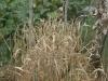 Greenhouse wheat?